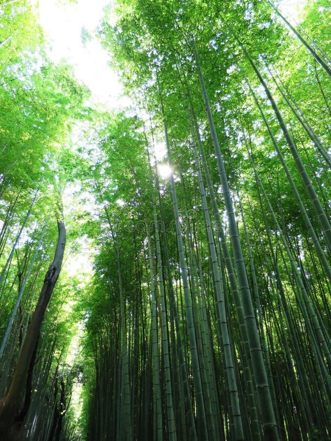 Arbre en bambou à Kyoto image stock