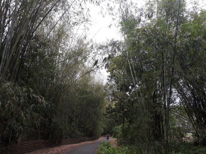 Arbre en bambou et route étroite Image impressionnante image stock