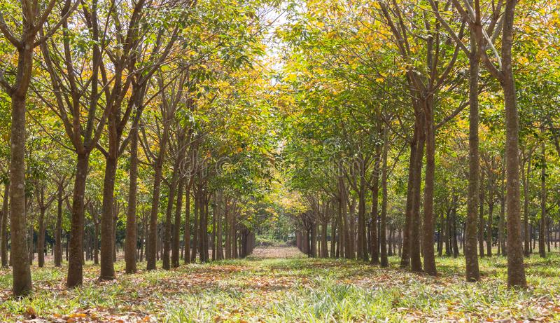 Arbre en caoutchouc dans Forest Background Low Angle Close en caoutchouc  image stock