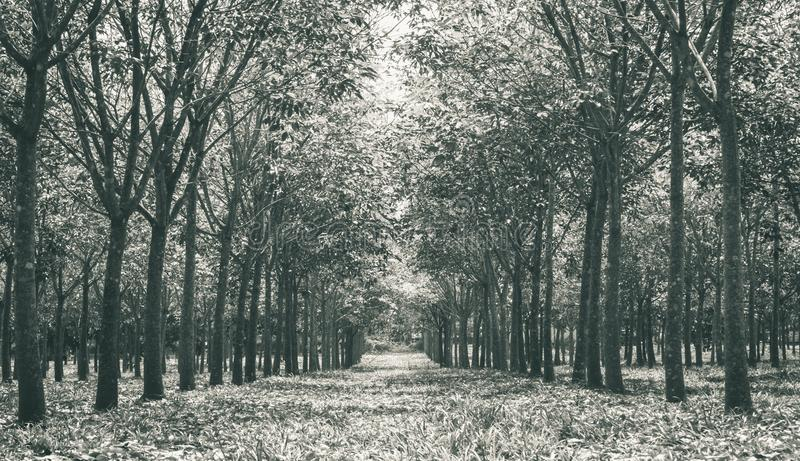 Arbre en caoutchouc dans Forest Background Low Angle Close en caoutchouc vers le haut de noir images stock