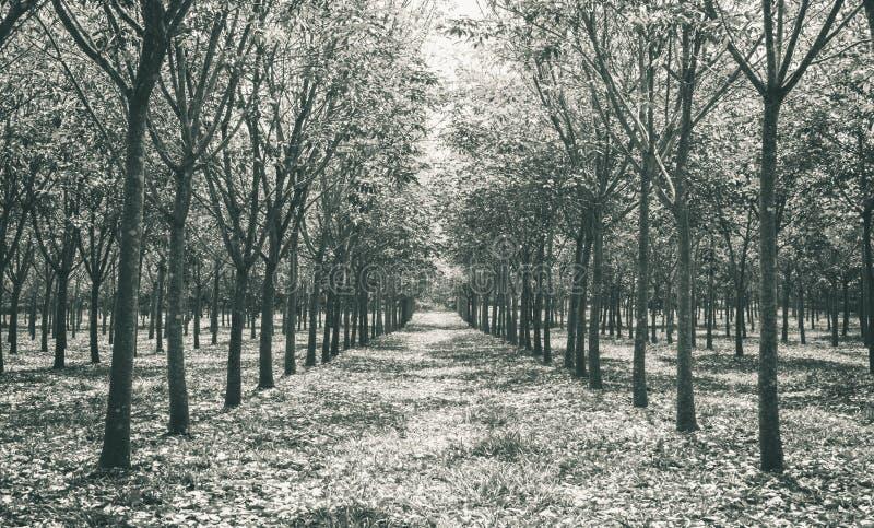 Arbre en caoutchouc dans Forest Background Normal Black White en caoutchouc images libres de droits