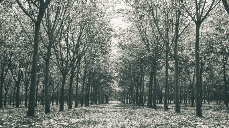 Arbre en caoutchouc dans le blanc en caoutchouc de Forest Background Low Angle Black image libre de droits