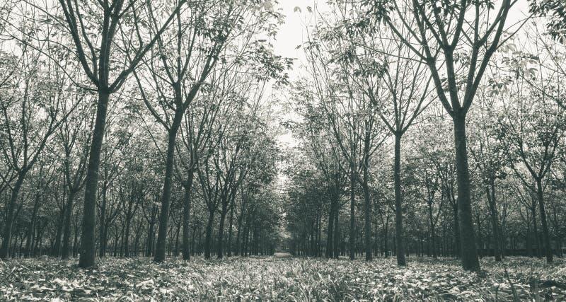 Arbre en caoutchouc dans le blanc en caoutchouc de Forest Background Wide View Black photographie stock