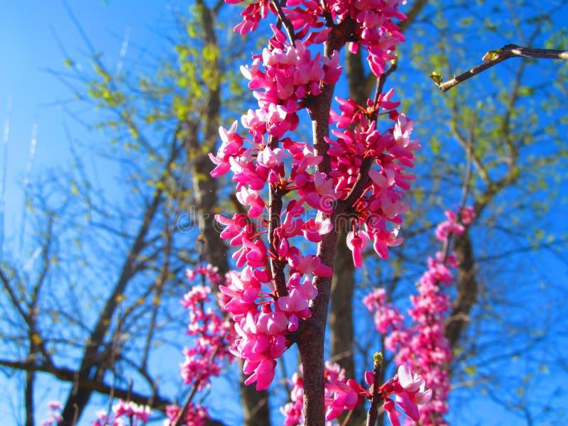 Arbre en fleur image libre de droits