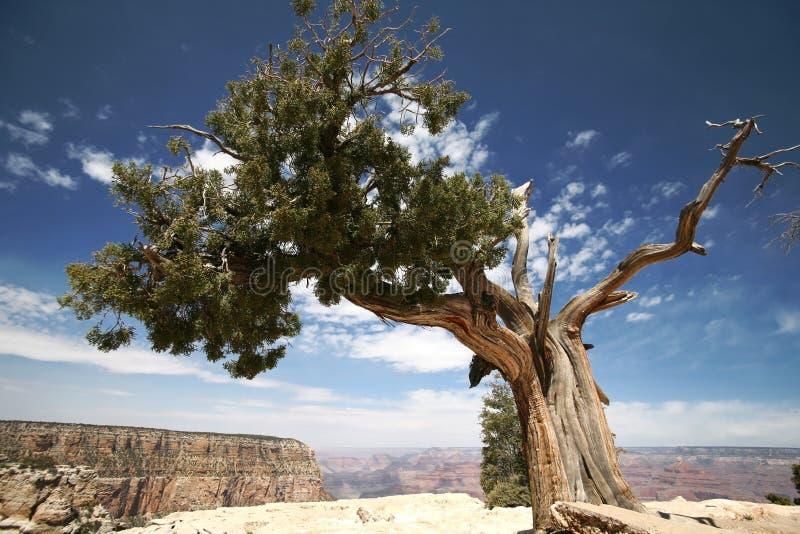 Arbre en gorge grande, Arizona photos stock
