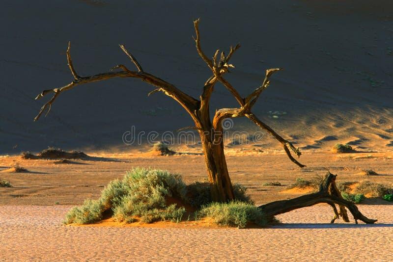 Arbre et dune photo libre de droits