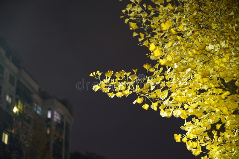Arbre et feuille de Ginko la nuit photo stock