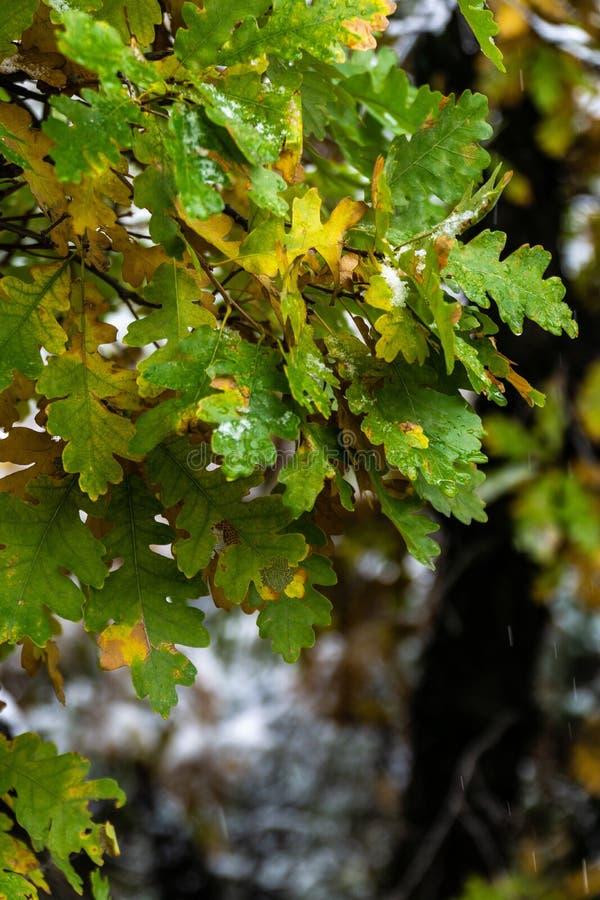 Arbre et feuilles pendant l'automne de chute après pluie photos stock