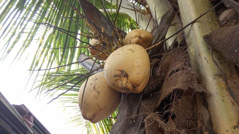 Arbre et fruits de noix de coco hybrides image libre de droits