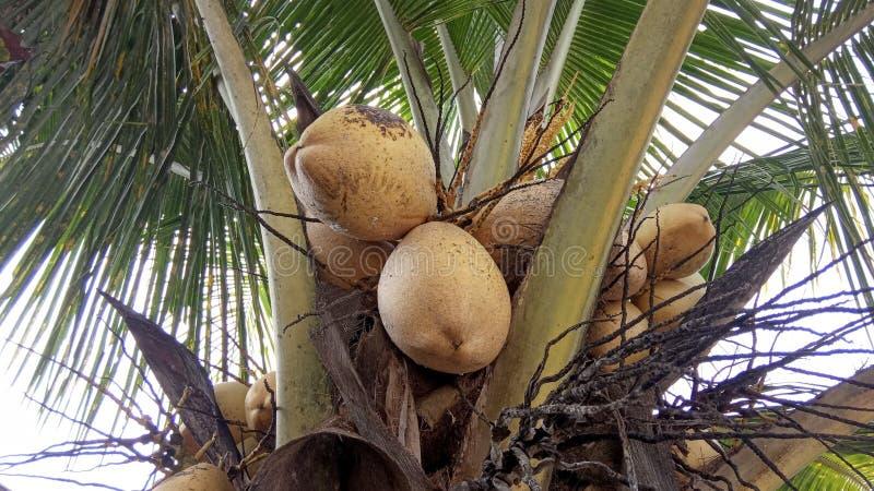 Arbre et fruits de noix de coco hybrides images stock