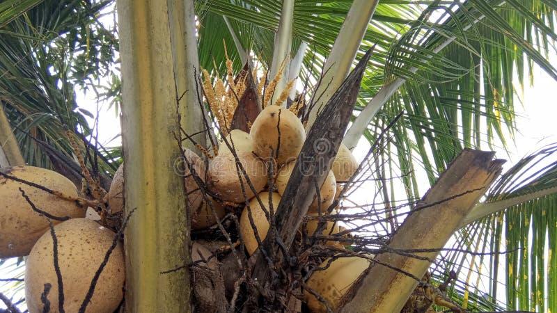 Arbre et fruits de noix de coco hybrides photo libre de droits