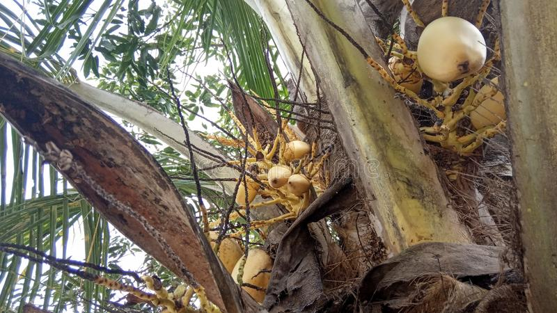 Arbre et fruits de noix de coco hybrides photos libres de droits