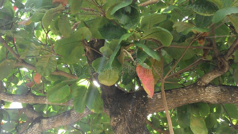 Arbre, feuilles et branches de châtaigne photographie stock libre de droits