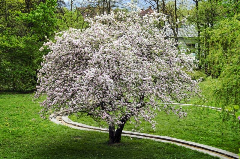 Arbre fleuri images stock