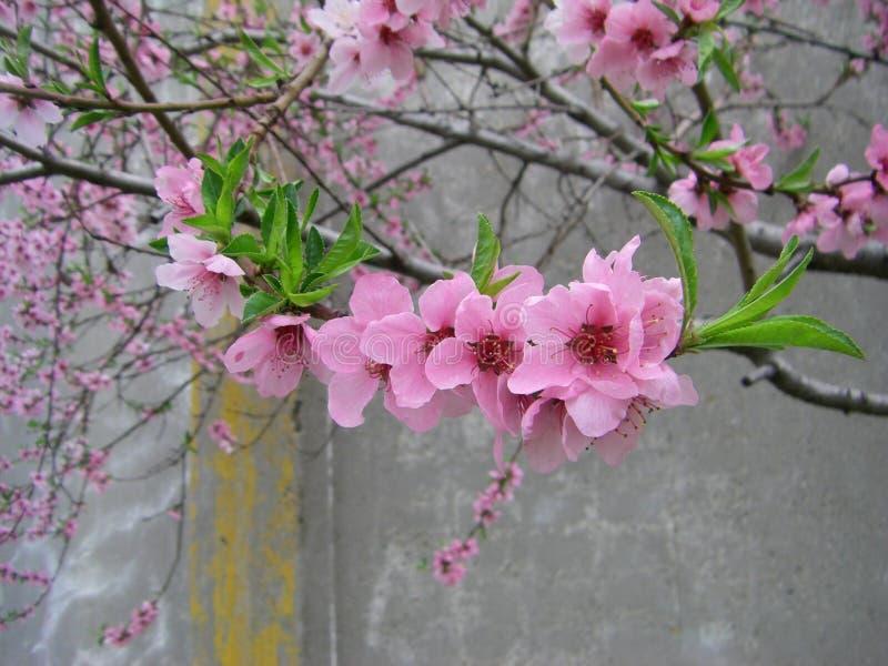 Arbre Fleuri Avec Les Fleurs Et Les Feuilles Roses De Vert ...