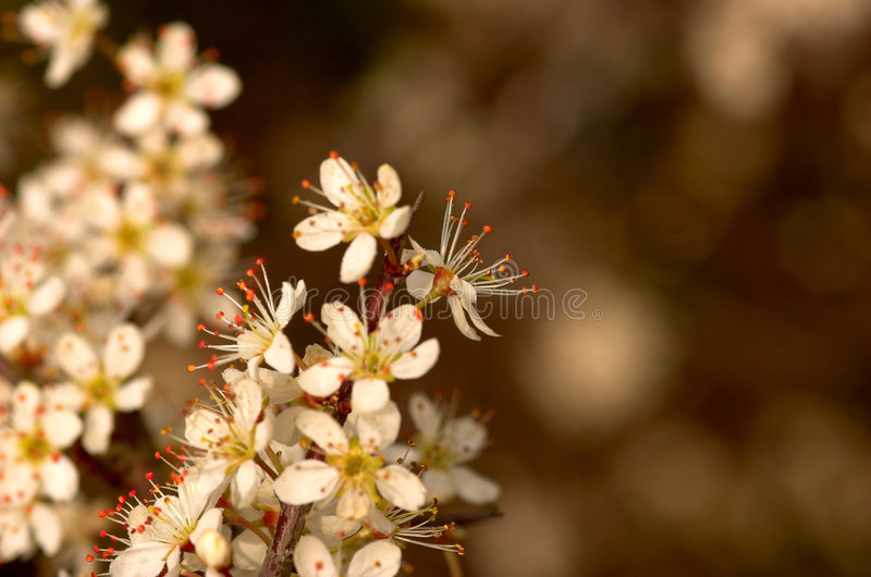 Arbre fleurissant de source photographie stock