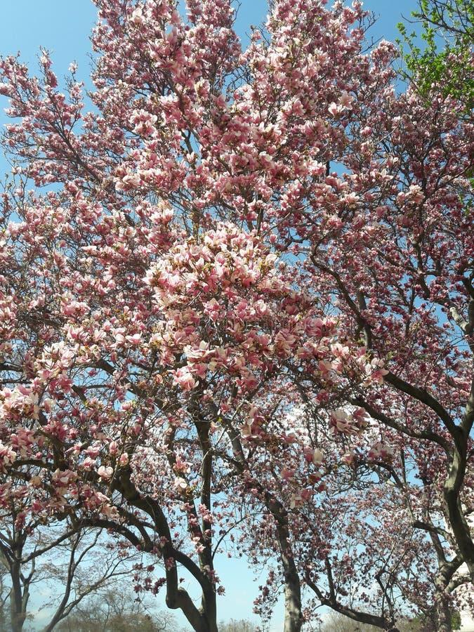 Arbre fleurissant rose de magnolia en premier ressort photographie stock