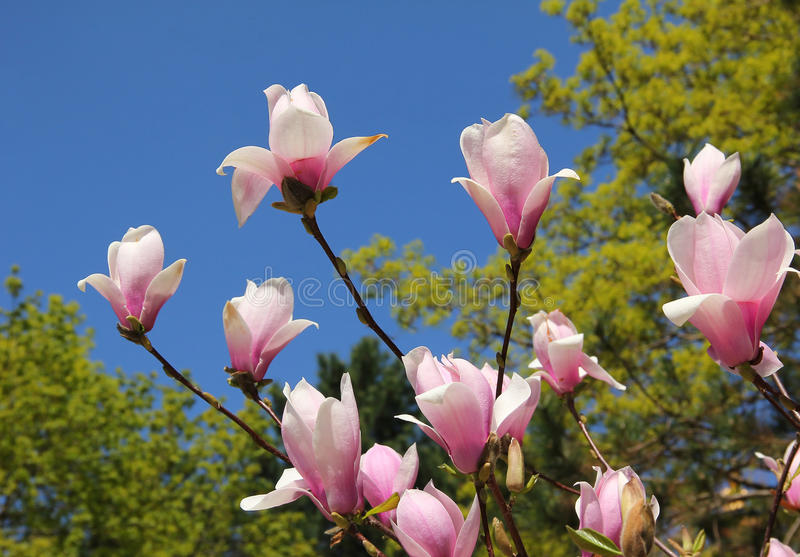 Arbre flourishing de magnolia en parc photo stock