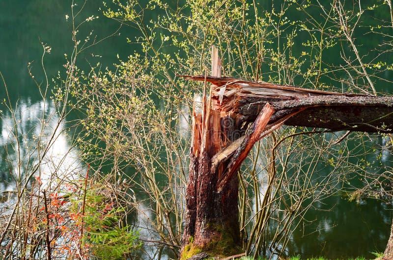 Arbre forestier cassé contre un lac naturel, plan rapproché, conceptn de faune photographie stock libre de droits