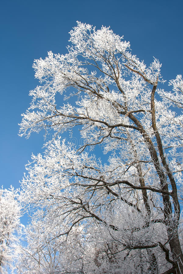 Arbre forestier grand dans le gel contre le ciel bleu photographie stock libre de droits