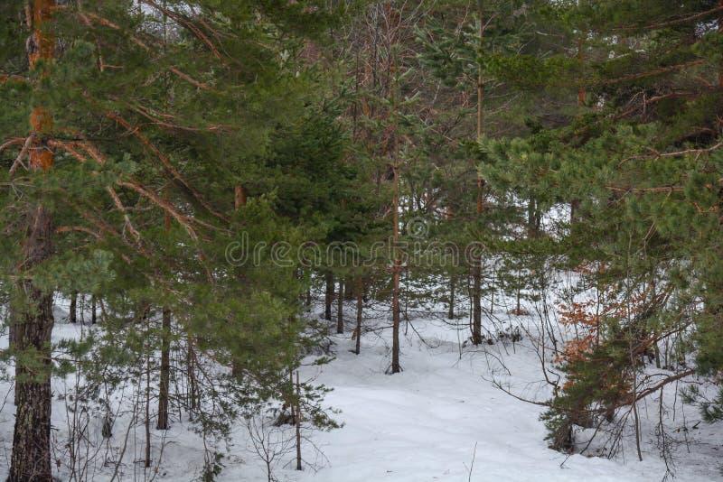 Arbre forestier vert de pin avec la neige sur la scène de nature de montagne photos libres de droits