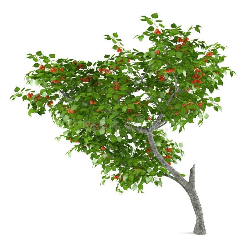 Arbre fruitier d'isolement. Armeniaca de Prunus illustration libre de droits