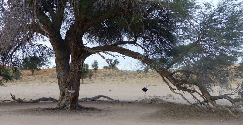 Arbre géant avec la branche de cintrage et l'autruche de mâle images stock