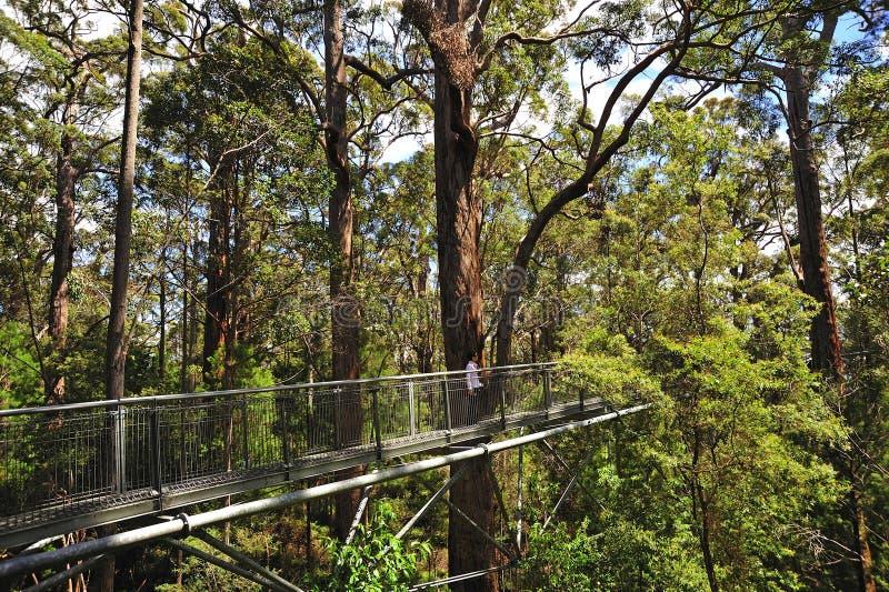 arbre géant de tintement de l'australie occidental photographie stock