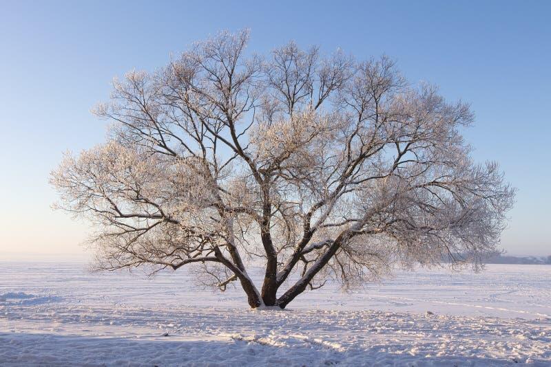 Arbre givré isolé sur le pré neigeux Scène d'hiver de nature La lumière du soleil douce illuminent l'arbre sur la neige Fond de N images stock
