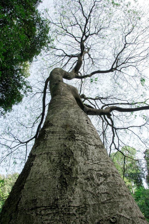 Arbre grand avec des branches sous forme de bras humains image libre de droits