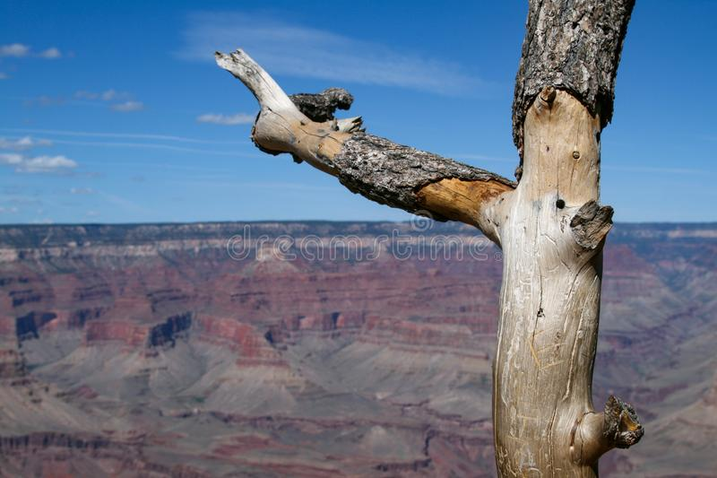 Arbre Grand Canyon photos libres de droits