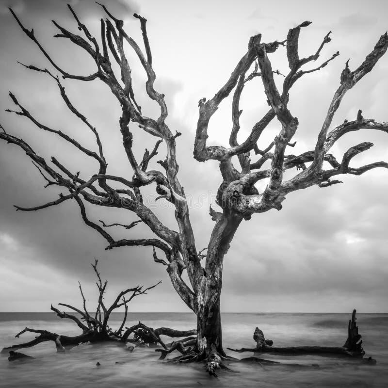 Arbre grand sur la plage de bois de flottage images stock
