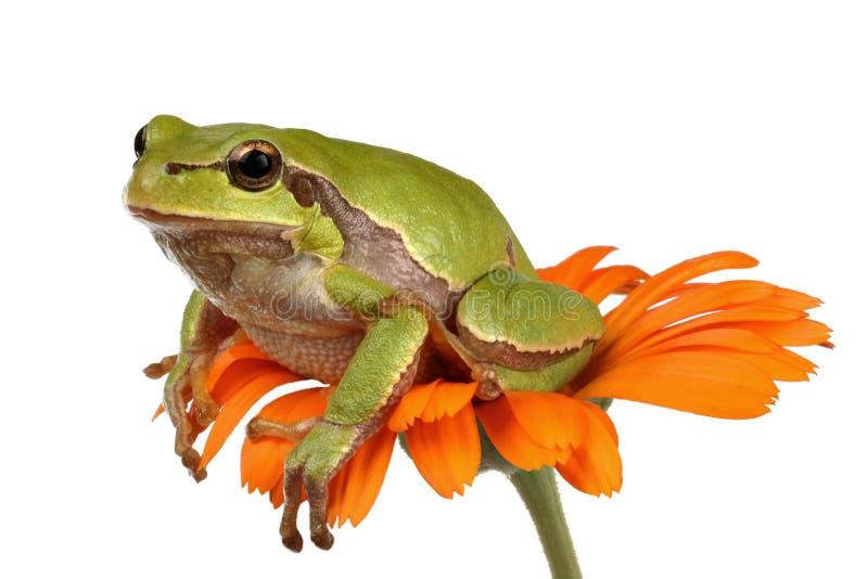 Arbre-grenouille images libres de droits