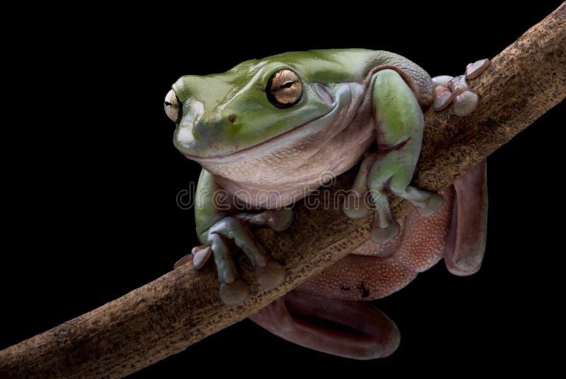 Arbre-grenouille verte étée perché sur un branchement image stock