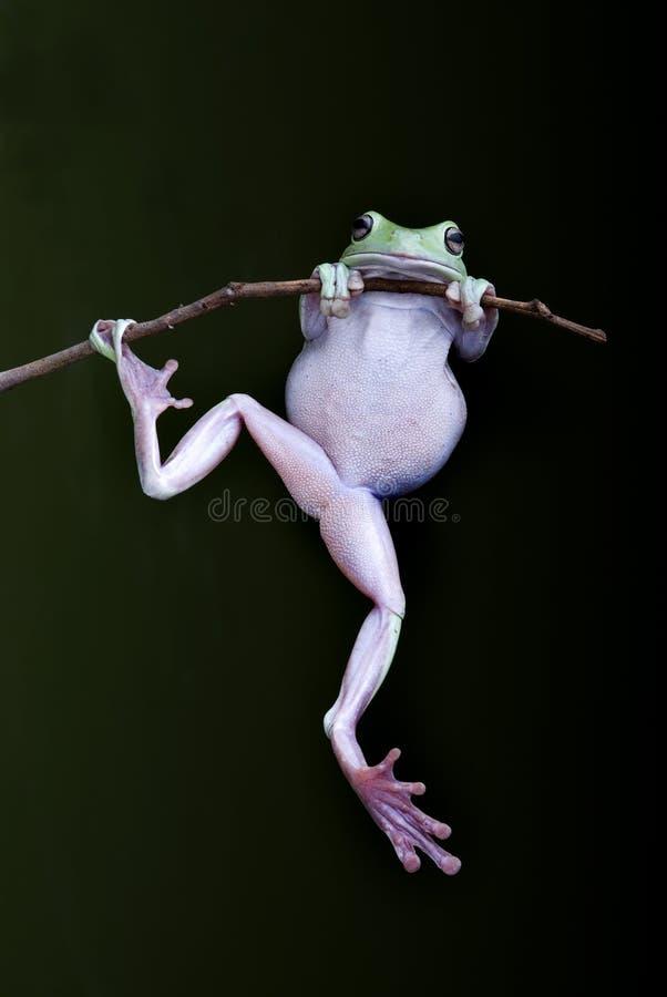 Arbre-grenouille verte s'attachant sur un branchement images stock