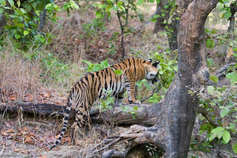 Arbre grimpant dans les jungles d'Asie du Sud photos stock