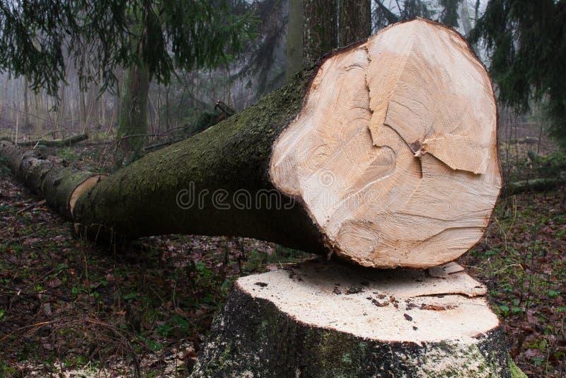 Arbre impeccable scié dans la forêt photographie stock