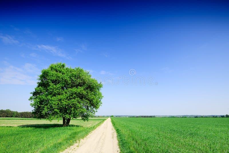 Arbre isolé à côté d'une route rurale allant parmi les champs verts image stock