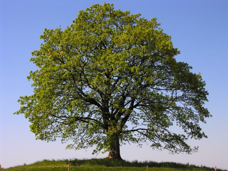 arbre isolé photographie stock