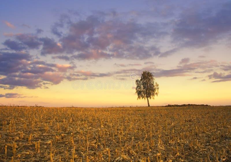 Arbre isolé au coucher du soleil image libre de droits