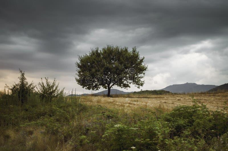 Arbre isolé contre un ciel bleu au coucher du soleil paysage d'été avec un arbre solitaire au champ d'orge de coucher du soleil d images stock