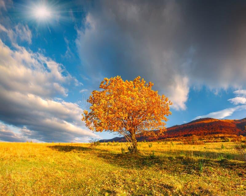 Arbre isolé d'automne contre le ciel dramatique en montagnes photos libres de droits