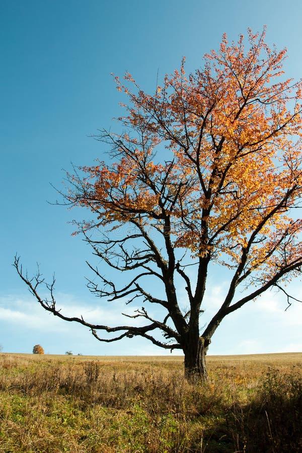 Arbre isolé dans des couleurs d'automne images libres de droits