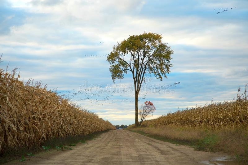 Arbre isolé dans un domaine de maïs photographie stock