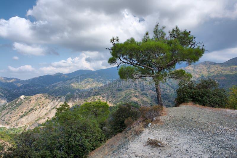 Arbre isolé de la Chypre photographie stock