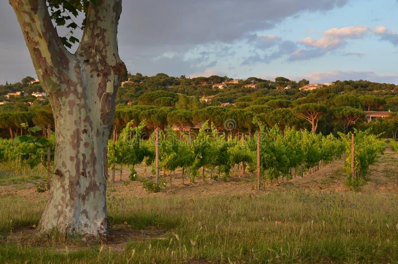 Arbre isolé de Platan à côté d'un vignoble, Provence photos stock