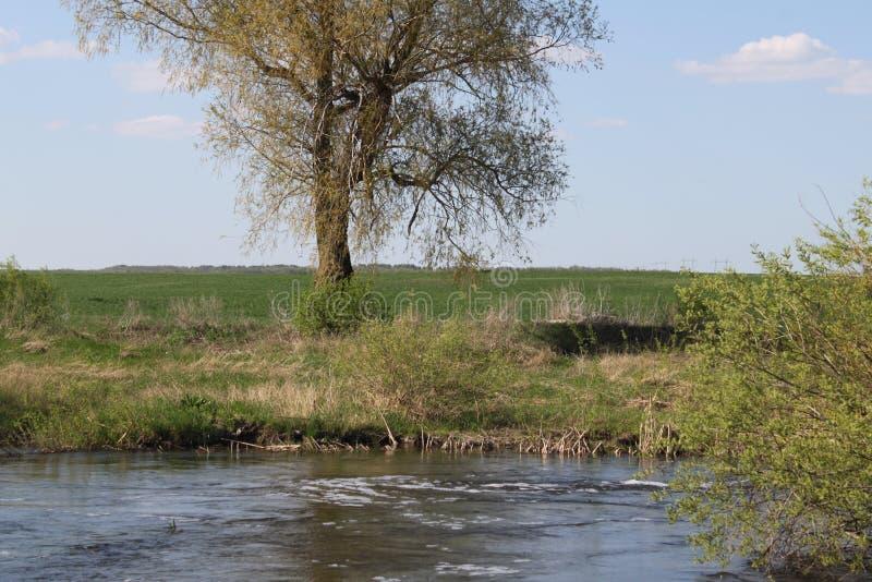 Arbre isolé sur le rivage d'une petite rivière photo libre de droits