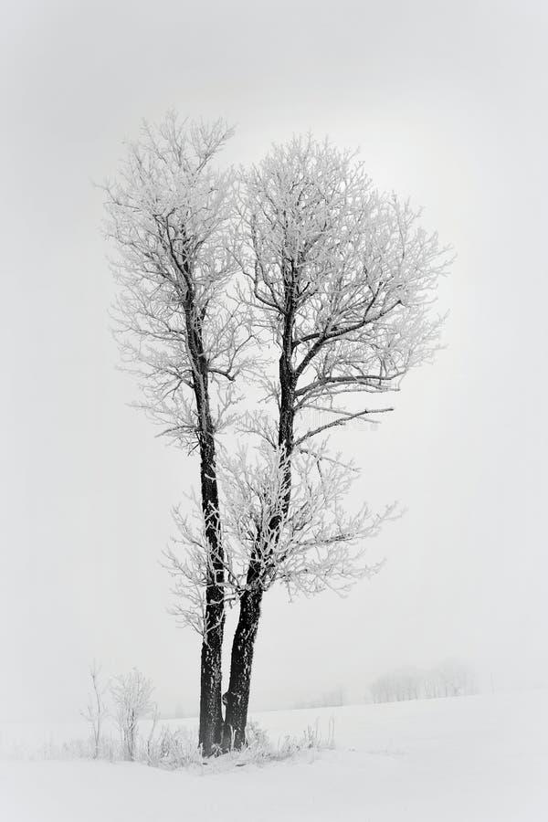 Arbre isolé sur une zone Paysage de la Lithuanie photo libre de droits