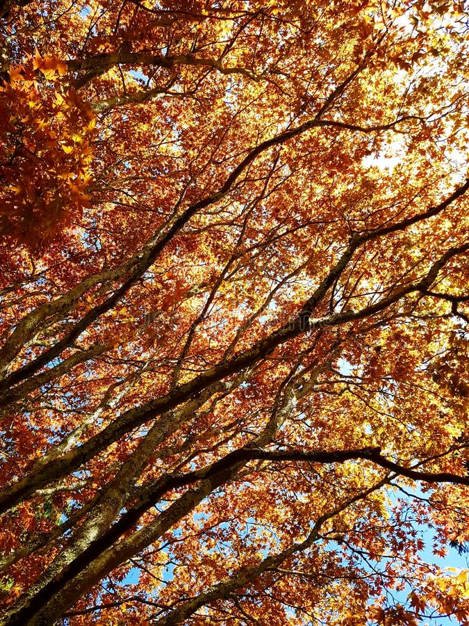 Arbre japonais orange photographie stock libre de droits