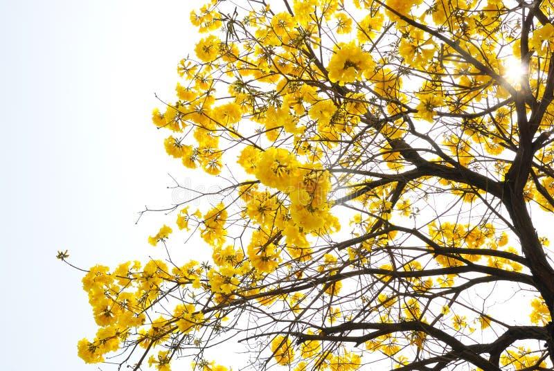 Arbre jaune de fleur photographie stock libre de droits